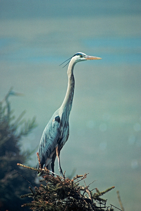 Blue Heron   (C32.jpg)