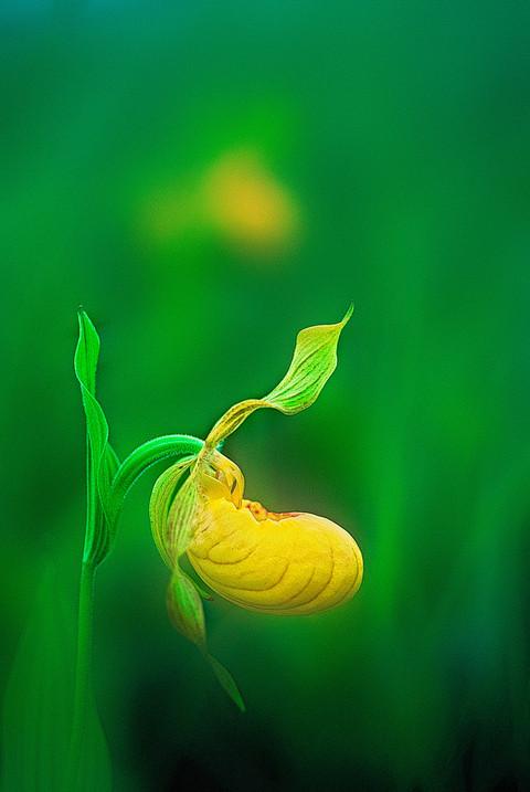 Yellow Ladyslippers   (F222.jpg)