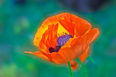 Poppy   (F20149.jpg)