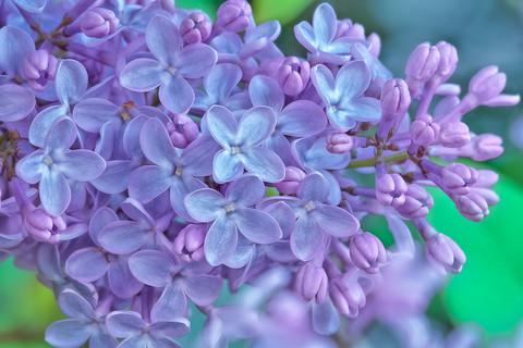 Lilac Blossoms   (F19117.jpg)