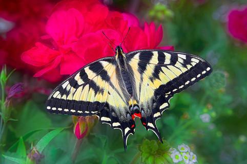 Swallowtail Butterfly   (C16030.jpg)