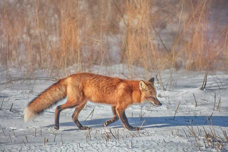 Fox   (C21011.jpg)
