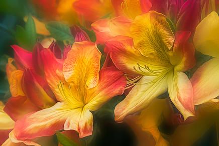 Rhododendrone   (F14172.jpg)