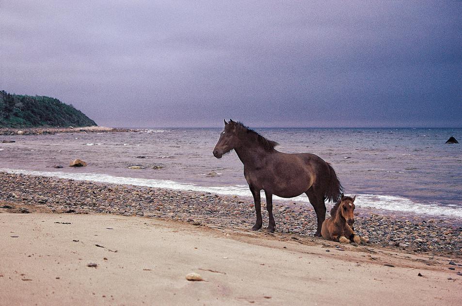 Newfoundland Ponies   (C20.jpg)