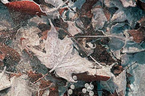 Leaves in the Ice   (W236.jpg)