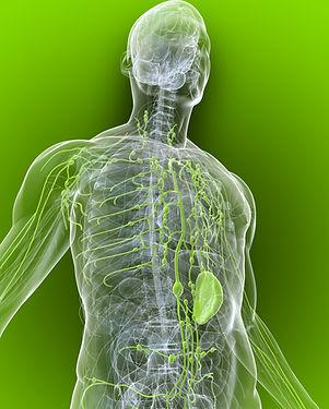 Lymph system image.jpg