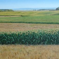 Corn at Kaipara