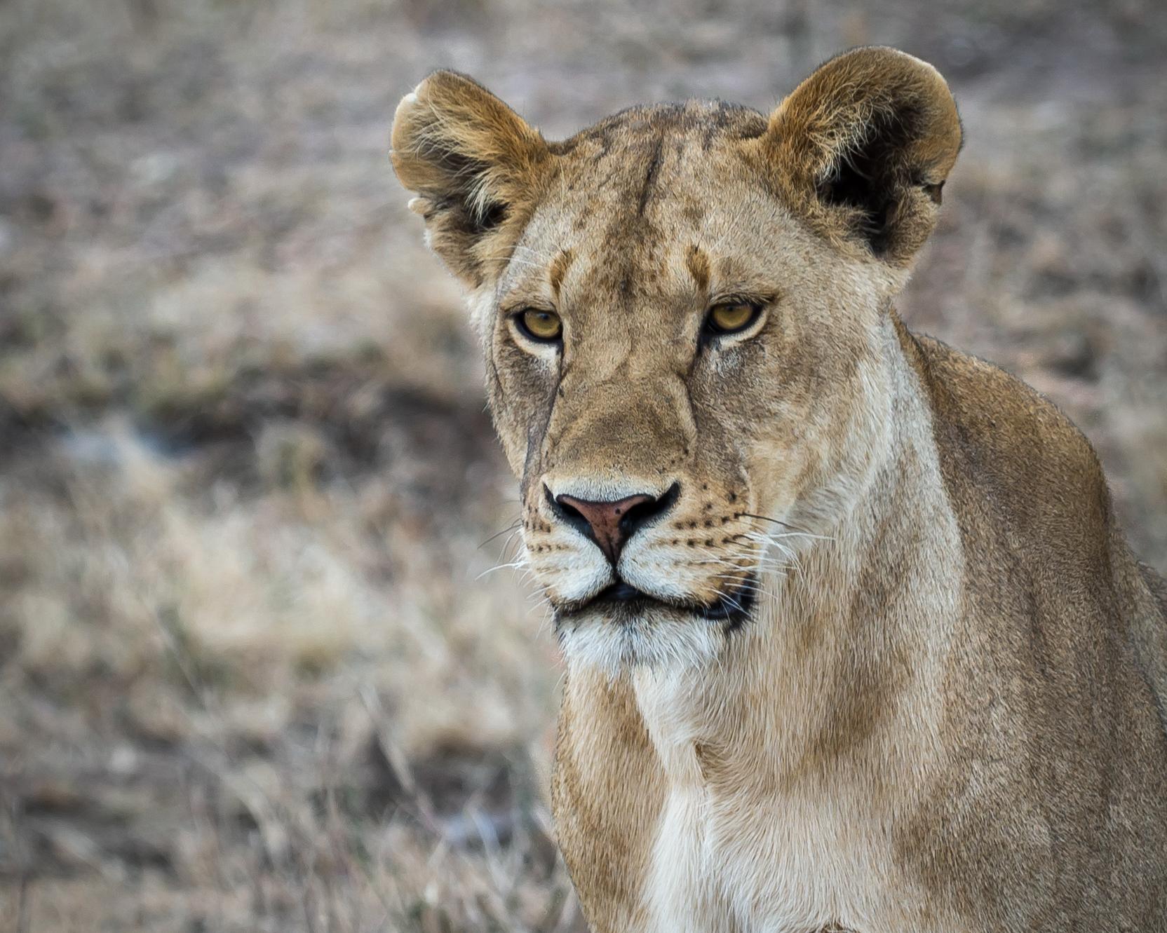 Lioness Mom