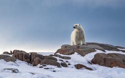 Arctic Polar Bear at Midnight