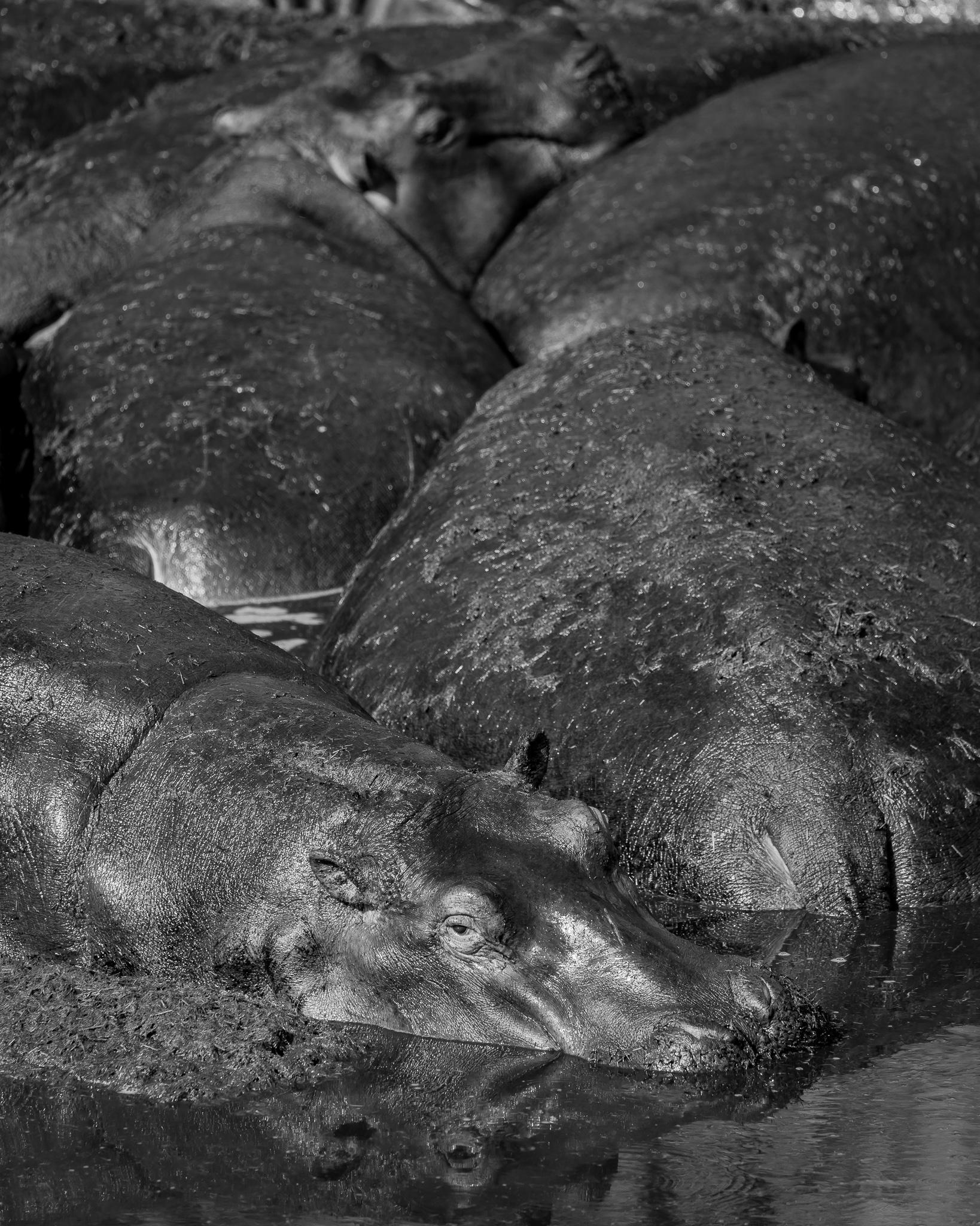 Hippo Naptime