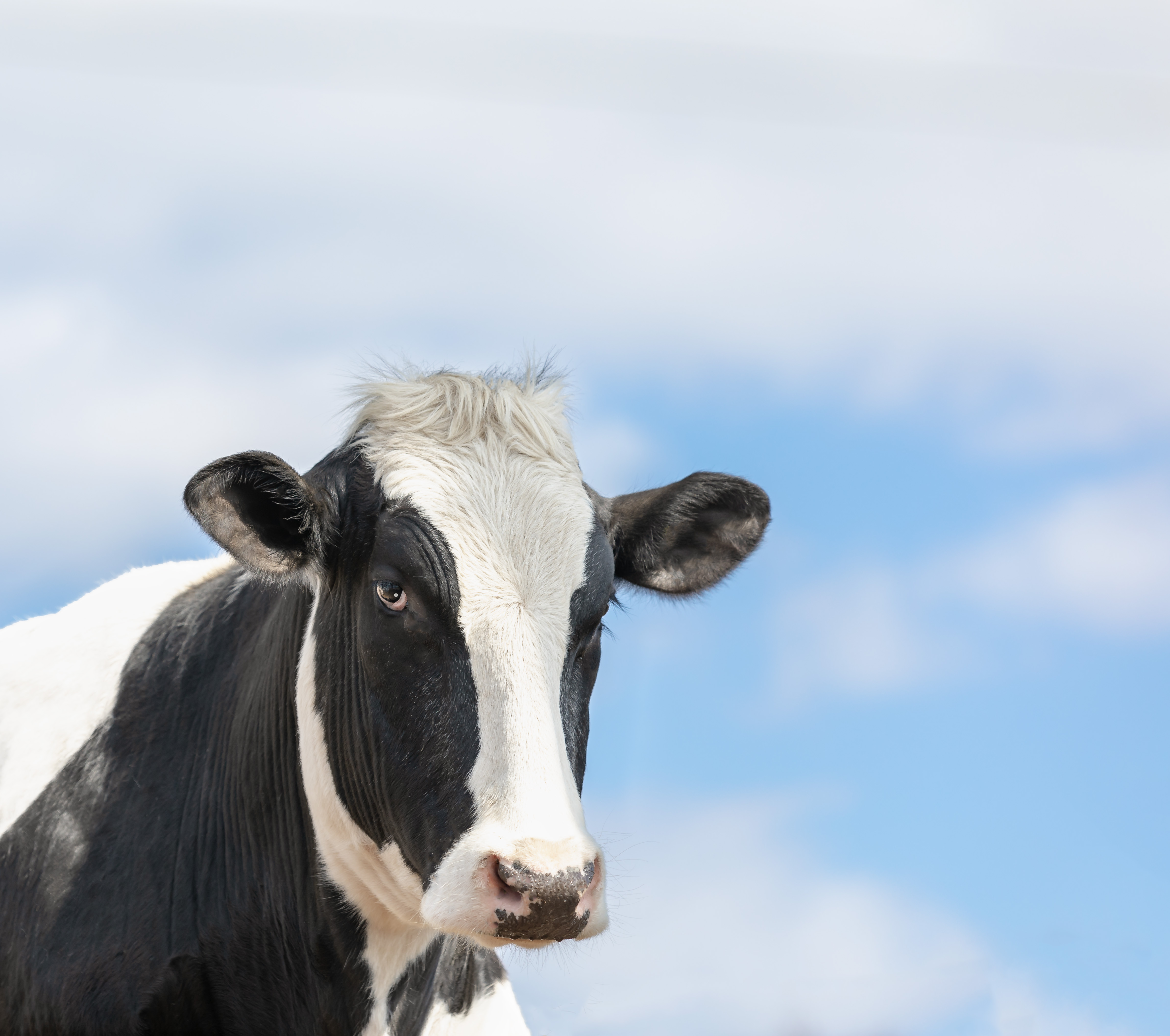 Amish Cow