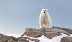 Polar Bear, Arctic 2018