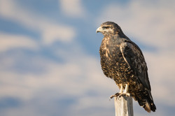 Black Chested Eagle