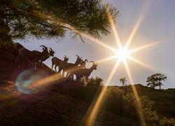 Sunbathing Bighorn Sheep