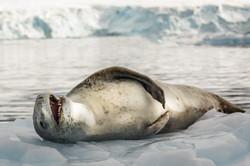 Leopard Seal Laughs