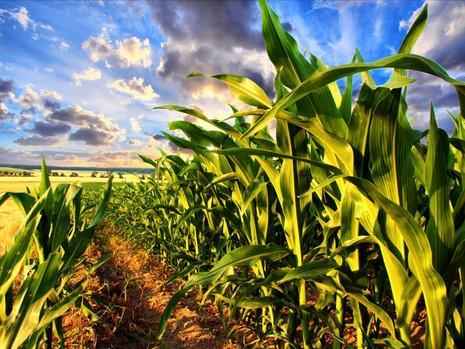 gmo_corn_shutterstock_132620504.jpg