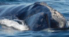 Campobello Whale Rescue