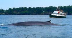 Whales Campobello Island Welshpool Landing