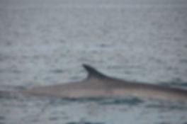 Finback Whale Island Cruises Campobello