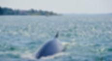 Whale Campobello Island