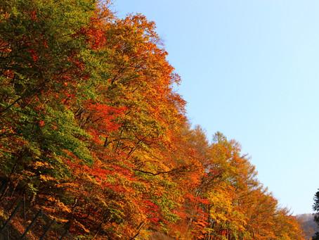 漆器木地、源流の記憶(南会津での伐倒製材見学会)