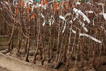 4b-Bare-root-fruit-trees..jpg