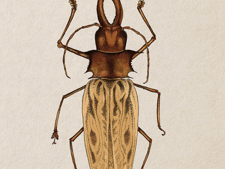 Sabertooth Longhorn Beetle