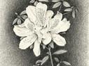 Azalea Cutting
