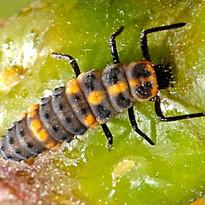 cycloneda larva.jpg