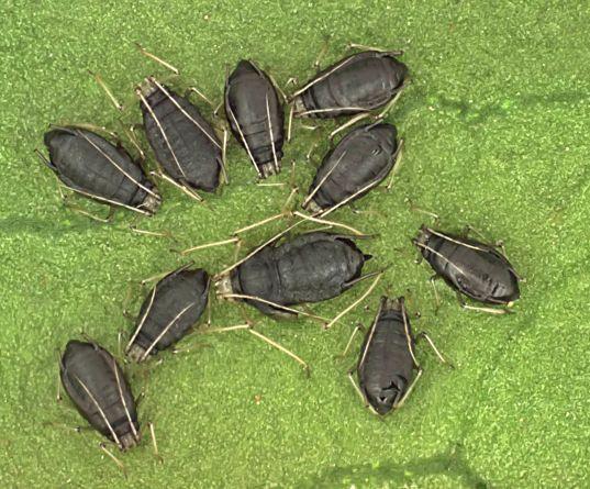 Myzus_parasitoides.jpg
