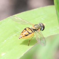 syrphidae (2).jpg