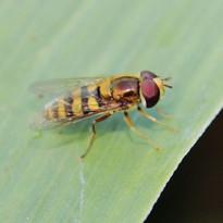 syrphidae sp.jpg