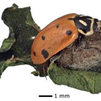 Hippodamia_parasitada.jpg