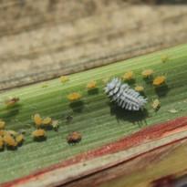 larva symnus.jpg