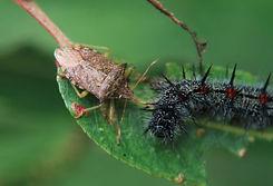 pentatomidae sobre lepidop.jpg