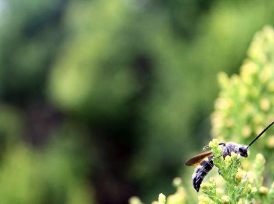 Scoliidae.jpg