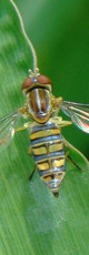 syrphidae.jpg