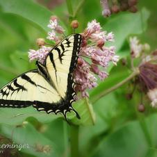 Swallowtail Butterfly on Milkweed