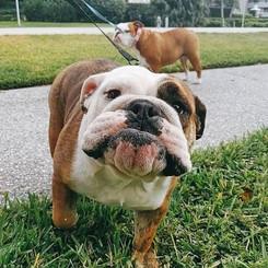 Sohphia and Angelina the Bulldogs