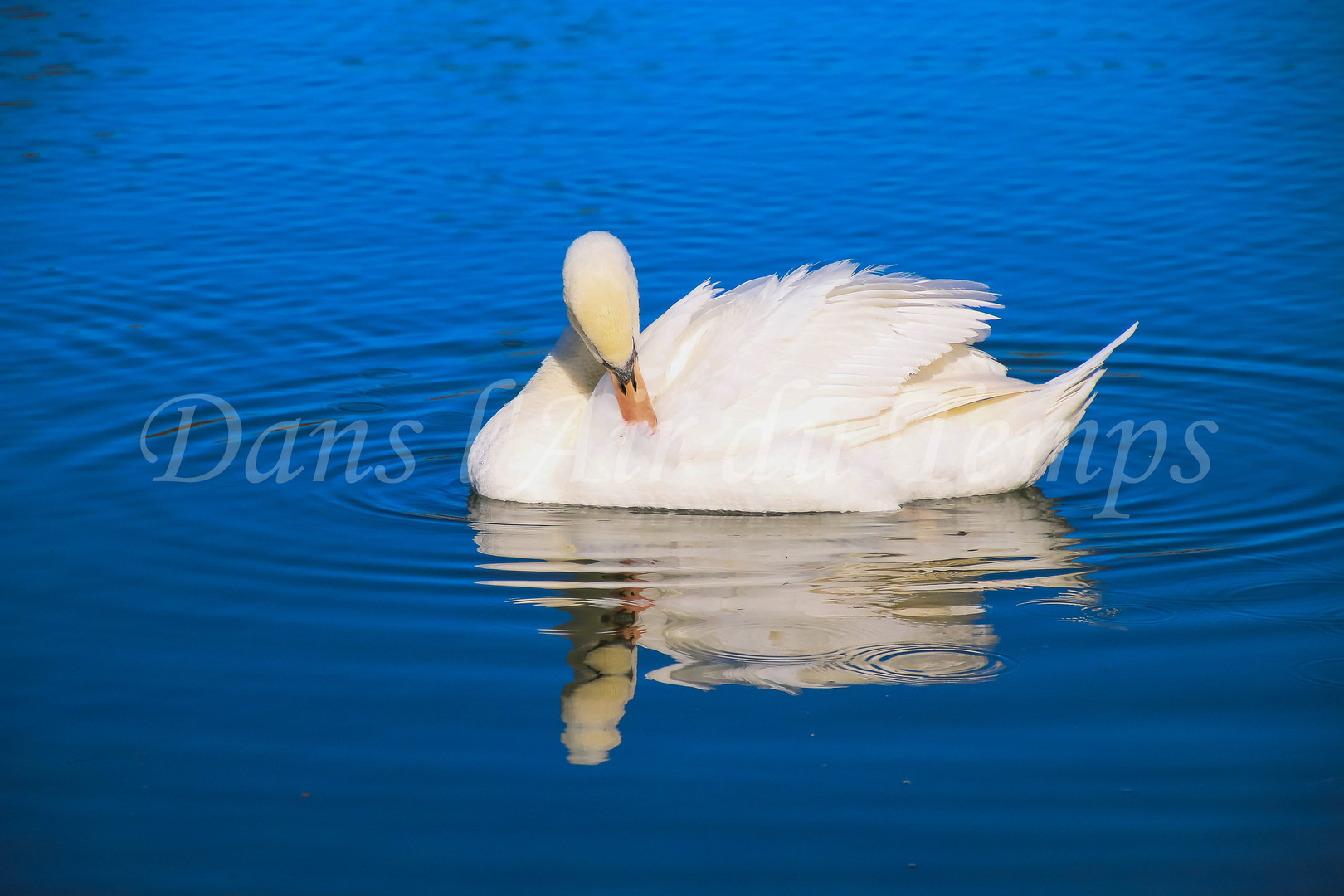 cygne en reflet sur eau bleue.jpg