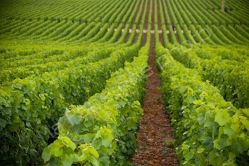 Terre de vignes de champagne 1