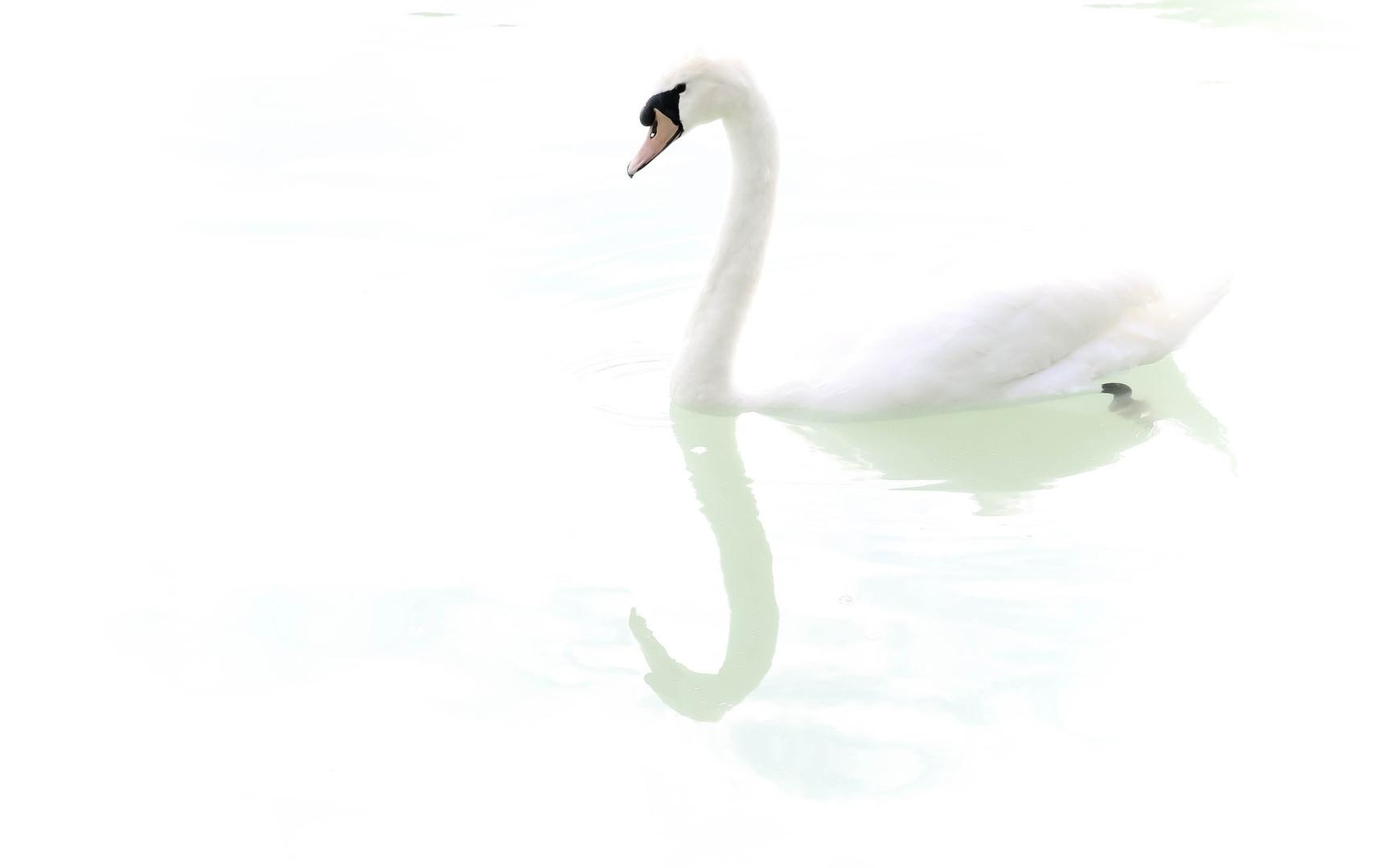 swan-5265681_1920.jpg