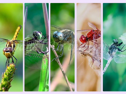 Planche 5 marque pages photo Insectes 1 Libellules
