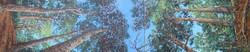 """""""Tall Tree Triptych"""""""