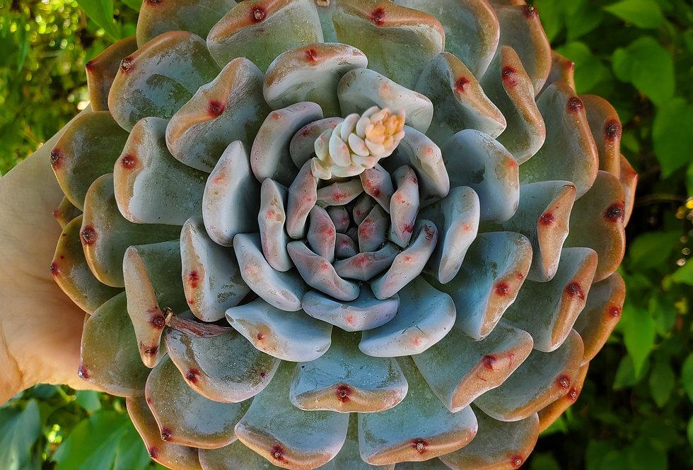 Echeveria Monroe HUGE