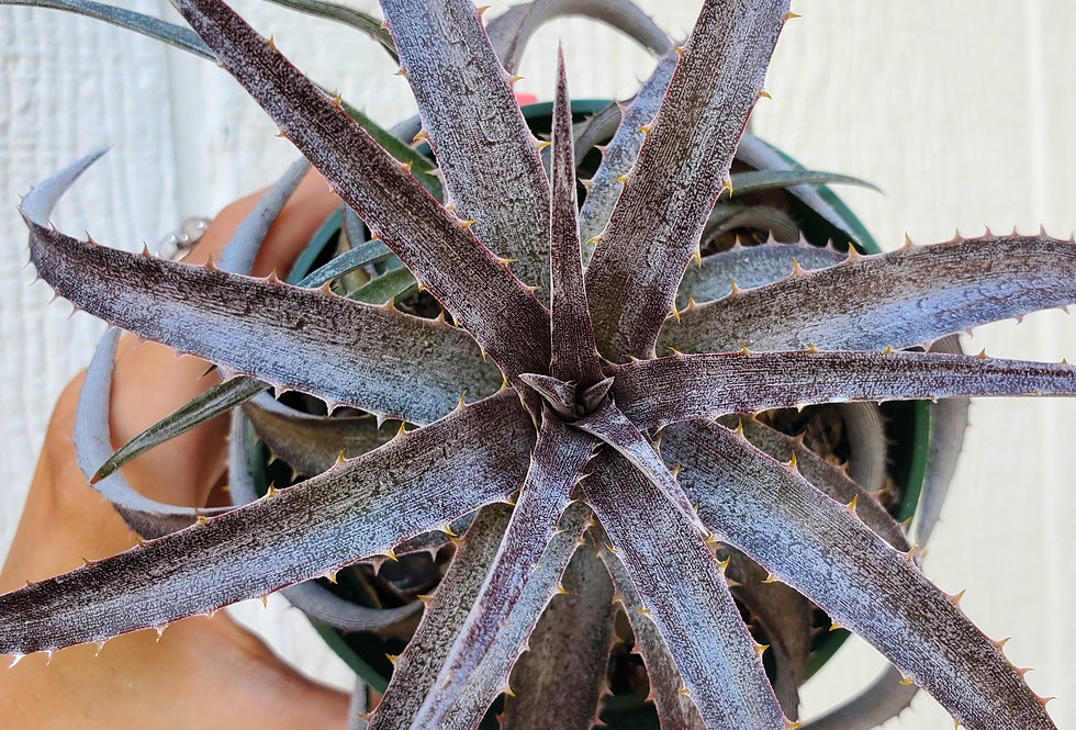 Dykia Grape Jelly