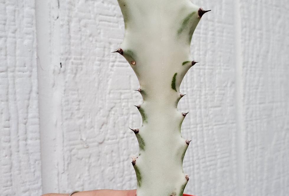 Euphorbia Ghost Cutting