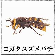 コダカスズメバチ