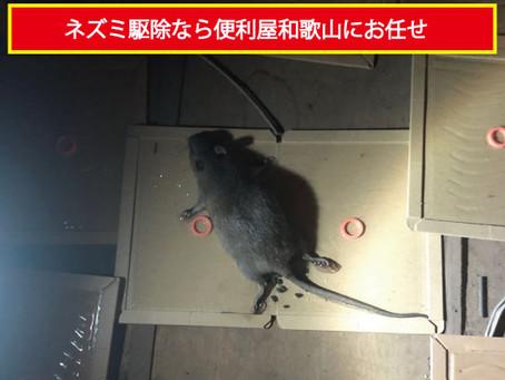 【和歌山市】ネズミ駆除を行いました。
