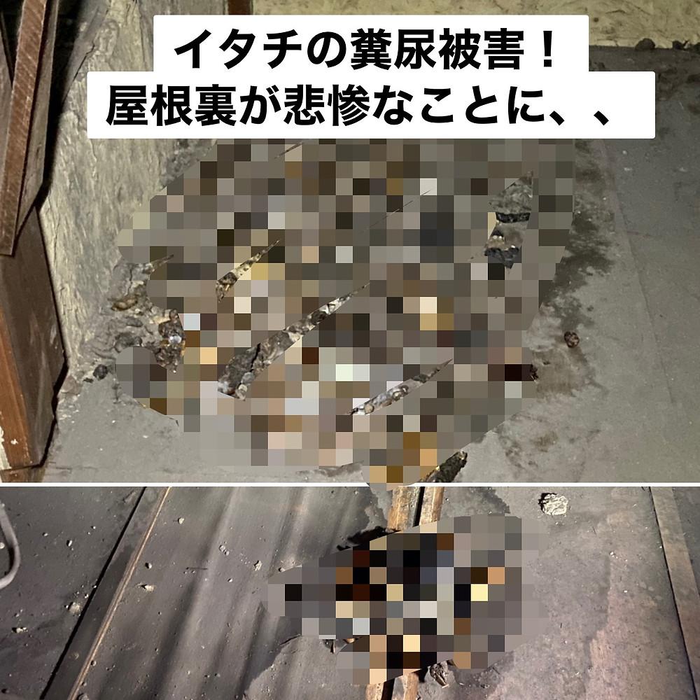 イタチの糞尿被害!屋根裏が悲惨なことに・・・ 和歌山市